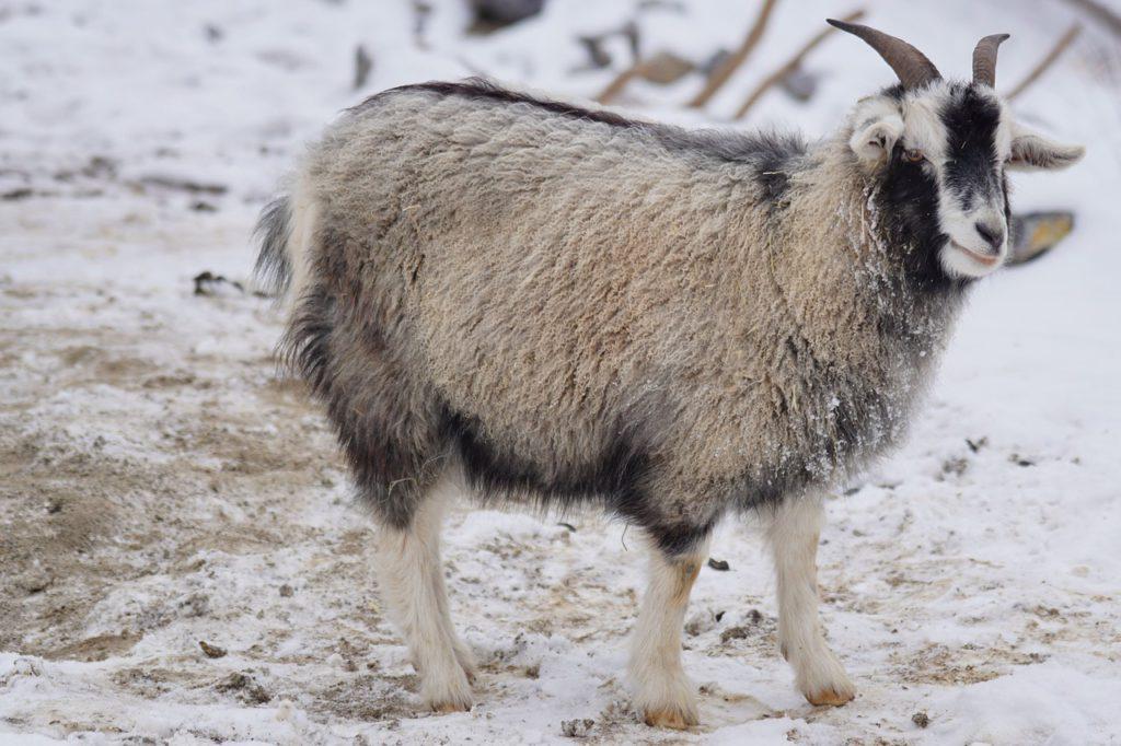 Chèvre Capra Hisca utilisée pour sa laine (cachemire)
