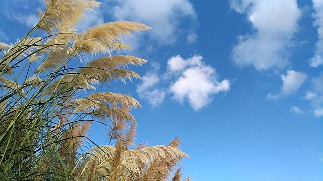 herbe de la pampas
